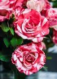 Изумляя белизна anda розы 2 цветков малая красная стоковое фото rf