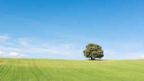 Изумляя взгляд дуба holm изолированный на зеленом пшеничном поле, под чистым голубым небом стоковое изображение rf