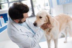 Изумляя Лабрадор стоя перед его доктором Стоковые Фотографии RF