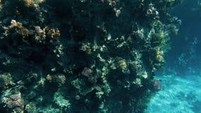 Изумляя подводное видео 4k подводной жизни вокруг кораллового рифа Красивая природа Красного Моря сток-видео