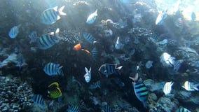 Изумляя подводный мир с сериями рыб и красивого кораллового рифа глубоко сток-видео