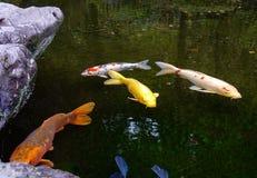 Изумляя рыбный пруд Koi в Kanazawa, Японии Стоковое Фото