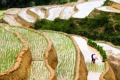 Изумляя традиционная культура риса в террасных рисовых полях во Вьетнаме стоковые изображения