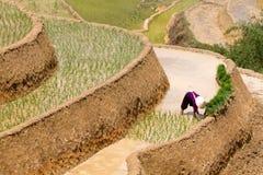 Изумляя традиционная культура риса в террасных рисовых полях во Вьетнаме стоковые фотографии rf