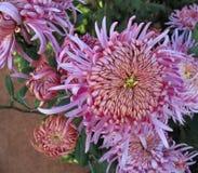 Изумляя хризантемы ферзя осени стоковое фото
