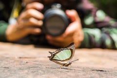 Изумрудное Nawab или индийская желтая бабочка Nawab Стоковое Изображение RF