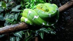 Изумрудно-зеленая горжетка дерева Стоковая Фотография