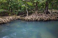 Изумрудно-зеленые корни воды и дерева торфа заболачивают лес на песне Nam Tha Pom Khlong стоковые изображения