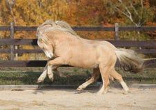2 изумляя жеребца пони welsh играя совместно Стоковое Изображение