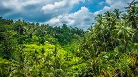 Изумляя поля террасы риса Tegalalang и некоторые пальмы вокруг, Ubud, Бали, Индонезия Стоковые Изображения RF