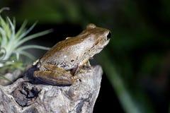 Изумляя древесная лягушка глаз Стоковое Фото