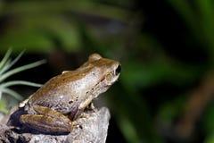 Изумляя древесная лягушка глаз Стоковая Фотография RF