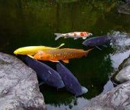 Изумляя рыбный пруд Koi в Kanazawa, Японии Стоковые Фото
