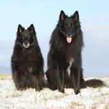 2 изумляя Groenendaels сидя в зиме Стоковое Фото