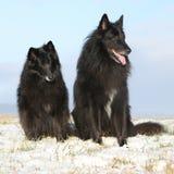 2 изумляя Groenendaels сидя в зиме Стоковое Изображение