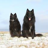 2 изумляя Groenendaels сидя в зиме Стоковое Изображение RF