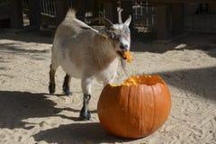 Изысканная коза Стоковое фото RF