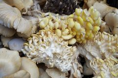 Изысканные грибы устрицы Стоковые Фото