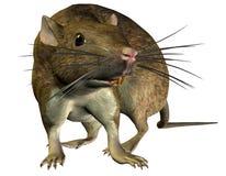 изыскивать крысы Стоковое Изображение