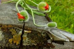 3 из бутона мака перед деревом и травы Стоковые Фото