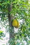 2 из джекфрута на дереве Стоковое Изображение
