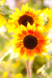 2 из желтых и оранжевых солнцецветов Стоковые Изображения