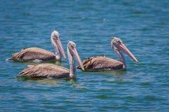3 из Пятн-представленного счет пеликана (philippensis Pelecanus) Стоковые Фотографии RF