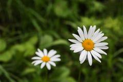 2 из растущего цветка маргаритки Стоковая Фотография