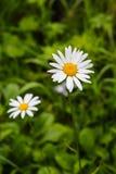 2 из растущего цветка маргаритки Стоковое фото RF
