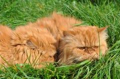 2 из такого же красного кота Стоковая Фотография
