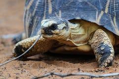 Излучаемая черепаха, Мадагаскар Стоковое фото RF