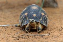 Излучаемая черепаха, Мадагаскар Стоковая Фотография RF