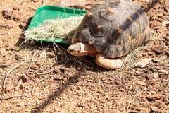 Излучаемая черепаха научно известная как radiata Astrochelys Стоковые Изображения RF
