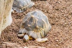 Излучаемая черепаха отдыхая тихо Стоковые Изображения