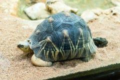 Излучаемая черепаха, эндемичная черепаха от к югу от Мадагаскара Стоковое Изображение RF
