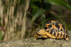 Излучаемая черепаха Стоковое Изображение RF