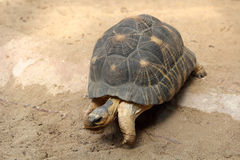 Излучаемая черепаха Стоковое Фото