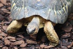Излучаемая черепаха Стоковое Изображение