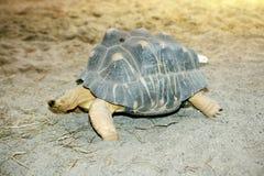 Излучаемая черепаха (radiata Astrochelys) Стоковое фото RF