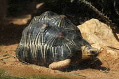 Излучаемая черепаха (radiata Astrochelys) Стоковое Фото