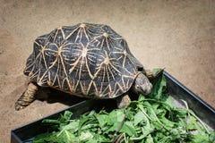 Излучаемая черепаха (radiata Astrochelys) Стоковое Изображение