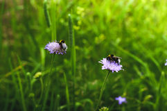 2 из шмеля на клевере цветут в луге Стоковое Изображение RF
