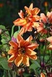 2 из шмеля на 2 цветках оранжевая гортензия c карлика Стоковые Изображения
