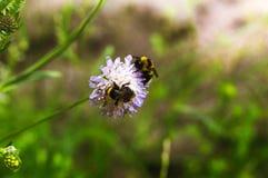 2 из шмеля на цветке в луге Стоковая Фотография RF