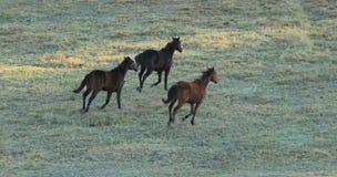 3 дикой лошади бежать в поле зеленой травы Стоковые Изображения RF