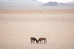 2 дикой лошади в пустыне Стоковое Фото