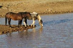 2 дикой лошади на водопое Стоковая Фотография