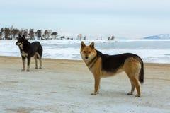 2 дикой собаки на предпосылке зимы Lake Baikal Стоковая Фотография RF