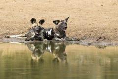 2 дикой собаки отдыхают рядом с waterhole для того чтобы выпить воду Стоковое Изображение RF