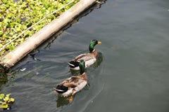 2 дикой утки в озере Стоковые Изображения RF